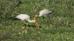 Pair of yellow billed storks feeding in masai mara game reserve Stock Footage