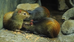 The female Brazilian Agouti feeds the young with milk Stock Footage
