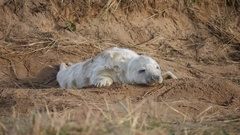 Grey Seal Pup on Beach. Hickups.  At Donna Nook, Lincolnshire. Stock Footage