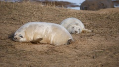 Grey Seal Pup on Beach. At Donna Nook, Lincolnshire. Stock Footage
