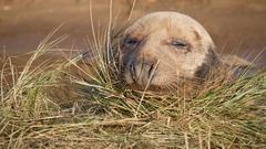 Grey Seal on the grass Arkistovideo