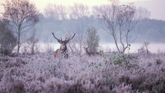 Stag deer in frosty misty morning light Stock Footage
