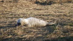 Newborn Grey Seal Pup on Beach. At Donna Nook, Lincolnshire. Stock Footage