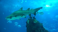 Shark hovers majestically in the blue water Stock Footage