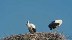 Family of storks in a large nest. Blue sky Stock Footage