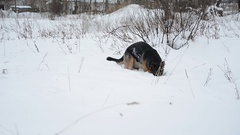 German Shepherd dog playing In A Snow. Stock Footage