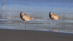 Marbled Godwit on one leg Stock Footage