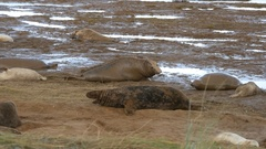 Grey Seal Bull on the Beach, Donna Nook, Lincolnshire Arkistovideo