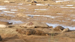 Grey Seal Bull on the Beach, Donna Nook, Lincolnshire Stock Footage