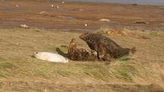 Grey Seals Mating on the Beach Stock Footage