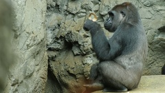 Adult gorilla eats something. On the rocky background Stock Footage