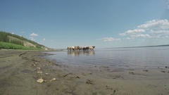 Herd of Yakut horses at the watering. Lena river Yakutia Stock Footage