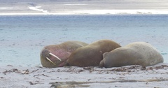 Walrus lying on the Beach of Spitsbergen Stock Footage