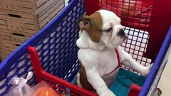 Cute English bulldog in a supermarket groceries cart Stock Footage