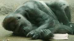 Big male gorilla lying on a towel. Picking his floor Stock Footage