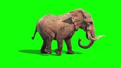 Elephant Walks Static Side Green Screen Stock Footage