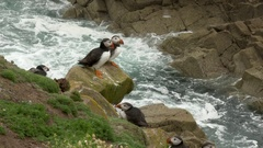 Atlantic Puffins on a cliff at the Atlantic Ocean, at Saltee Island, Ireland. Stock Footage