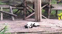 Baby Panda   at  Chengdu,China Stock Footage