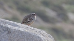 Chukar partridge Stock Footage