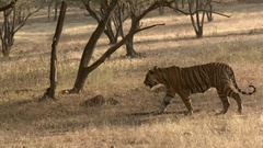 Bengal Tiger sauntering in dry forest, tracking shot in high angle. Stock Footage