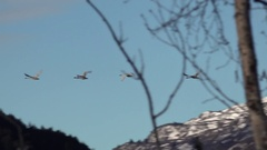 Small Flock Of Swans Take to the Air Stock Footage