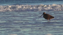 Marbled Godwit with long beak searching Stock Footage