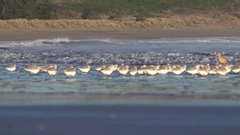 WESTERN SNOWY PLOVER, parade of birds Stock Footage