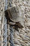 Close up of a tortoise on pebbles eating green leaf Stock Photos