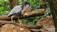 Exotic bird walks on the branches of a tree. Boat-biller Heron Stock Footage