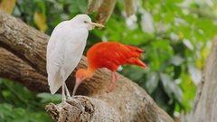 Beautiful birds in the trees - Western Cattle Egret and Scarlet Ibis Stock Footage