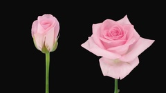 Time-lapse of opening and dying Sweet Akito rose with ALPHA channel Stock Footage