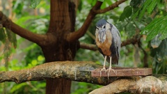 Boat-biller Heron. He is sitting in the branches of a tree Arkistovideo