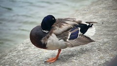 Duck standing in one leg is freesing Stock Footage