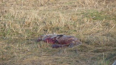 Dead Grey Seal Pup. Still Born Stock Footage