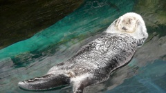 Otter on  his back trying to nap Stock Footage