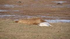 Grey baby Seal laying on the grass with his mother Arkistovideo