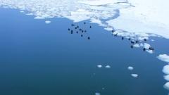Ducks in frigid Finnish winter waters Stock Footage