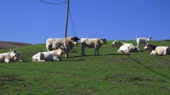 Charolais, out to pasture, French breed Stock Footage