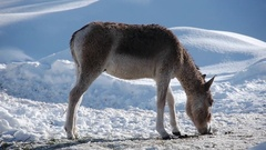 Donkey feeding in the snow Stock Footage