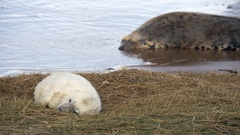 Grey Seal Pup and Cow on the beach at Donna Nook Stock Footage