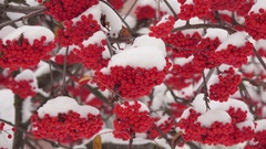 Snow-covered red bunches of rowan in the snow Stock Footage
