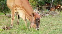 Brown cow eating grass Stock Footage