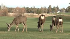 Deer Herd On Golf Course Stock Footage