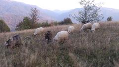 Sheep graze the grass Stock Footage