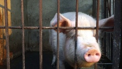 White pig in a pen Stock Footage