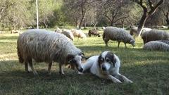 Dog bites sheep Stock Footage