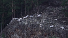 Mountain goats climb the mountain Stock Footage