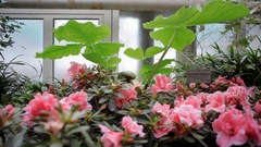 Pink flowers grow in greenhouse, Berlin botanical gardens, Germany Stock Footage