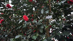 Red rose bush flowers blossom in botanical garden greenhouse, Berlin Stock Footage
