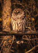 Barred owl resting in the autumn sun. Stock Photos
